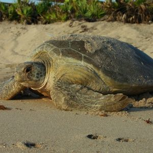 Guided Sea Turtle Watch Programs